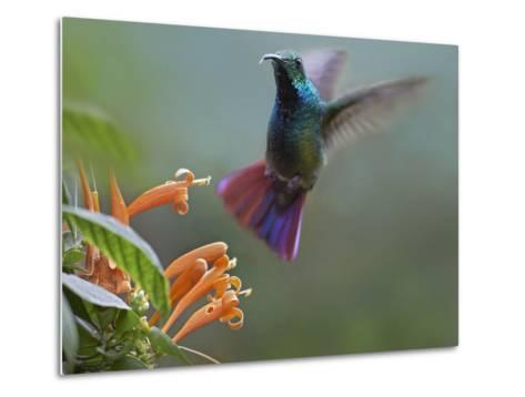 Green-Breasted Mango Hummingbird at Flame Vine, Costa Rica-Tim Fitzharris-Metal Print