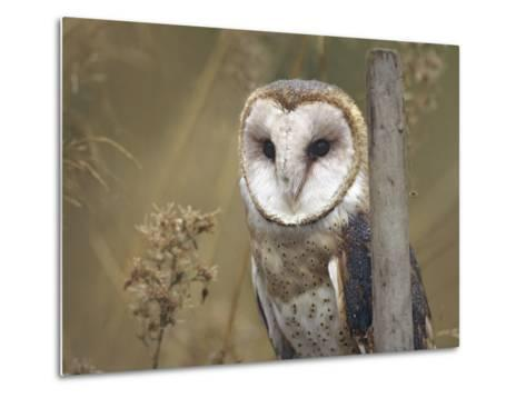 Barn Owl, British Columbia, Canada-Tim Fitzharris-Metal Print