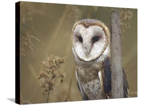 Barn Owl, British Columbia, Canada-Tim Fitzharris-Stretched Canvas Print