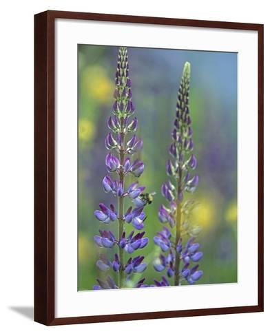 Lupines with a Bumblebee Drinking its Nectar, Canada-Tim Fitzharris-Framed Art Print