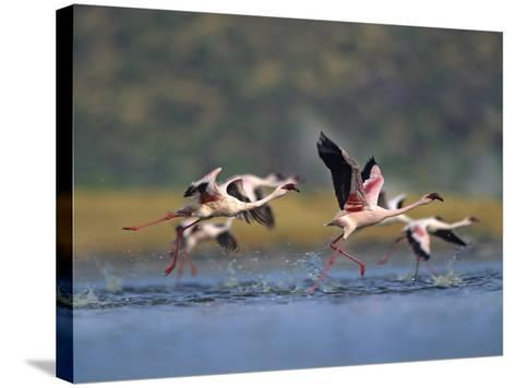 Lesser Flamingos Prepare to Take Off, Kenya, Africa-Tim Fitzharris-Stretched Canvas Print