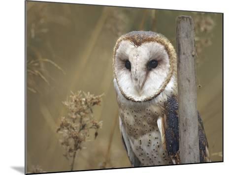 Barn Owl, British Columbia, Canada-Tim Fitzharris-Mounted Photographic Print