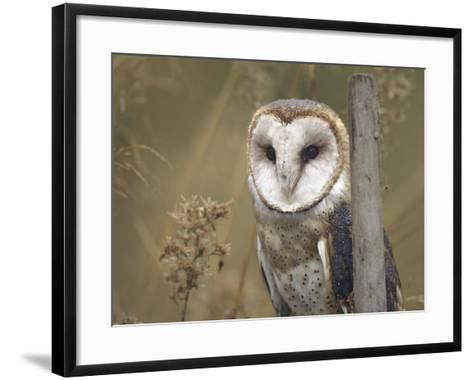 Barn Owl, British Columbia, Canada-Tim Fitzharris-Framed Art Print