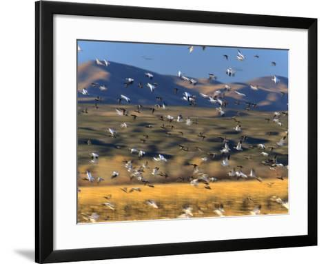 Snow Geese Flock, New Mexico, Usa-Tim Fitzharris-Framed Art Print