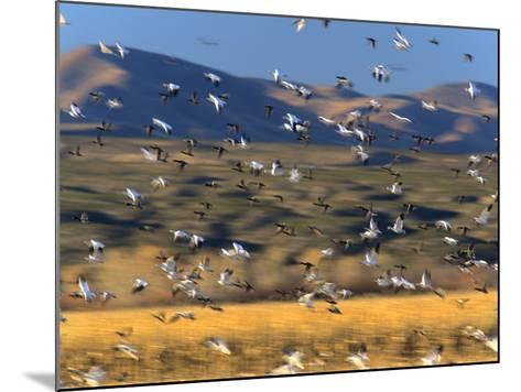 Snow Geese Flock, New Mexico, Usa-Tim Fitzharris-Mounted Photographic Print
