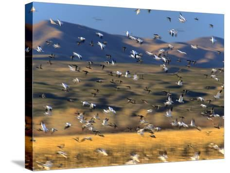 Snow Geese Flock, New Mexico, Usa-Tim Fitzharris-Stretched Canvas Print