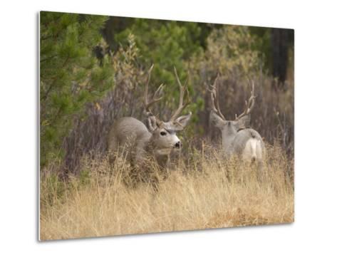 Rocky Mountain Mule Deer Bucks, Odocoileus Hemionus, Wyoming, Wild-Maresa Pryor-Metal Print