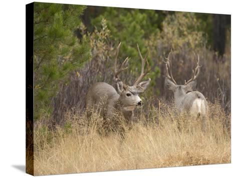 Rocky Mountain Mule Deer Bucks, Odocoileus Hemionus, Wyoming, Wild-Maresa Pryor-Stretched Canvas Print
