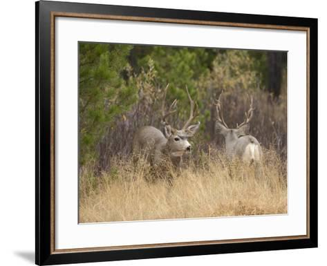 Rocky Mountain Mule Deer Bucks, Odocoileus Hemionus, Wyoming, Wild-Maresa Pryor-Framed Art Print