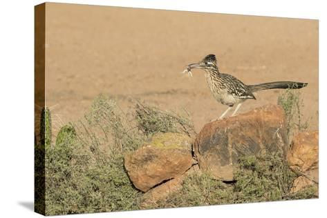 Arizona, Amado. Greater Roadrunner with Lizard-Jaynes Gallery-Stretched Canvas Print
