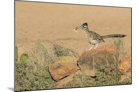 Arizona, Amado. Greater Roadrunner with Lizard-Jaynes Gallery-Mounted Photographic Print