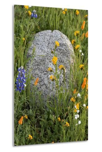 California Poppies with Boulder in a Field-Judith Zimmerman-Metal Print