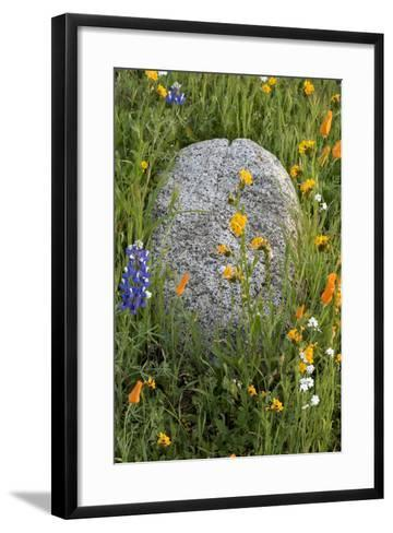 California Poppies with Boulder in a Field-Judith Zimmerman-Framed Art Print
