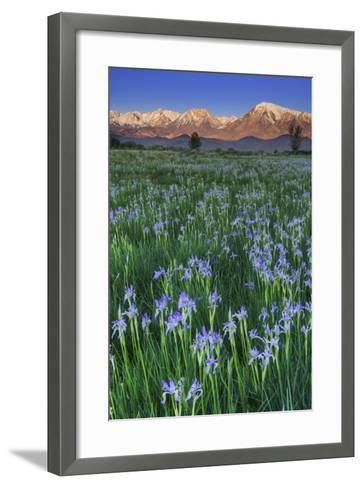 California, Sierra Nevada Mountains. Wild Iris Blooming in Owens Valley-Jaynes Gallery-Framed Art Print