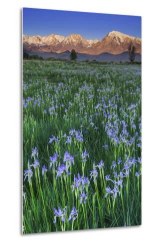 California, Sierra Nevada Mountains. Wild Iris Blooming in Owens Valley-Jaynes Gallery-Metal Print