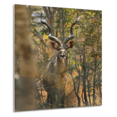 Greater Kudu , Kenya, Africa-Tim Fitzharris-Metal Print