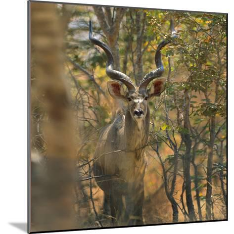 Greater Kudu , Kenya, Africa-Tim Fitzharris-Mounted Photographic Print