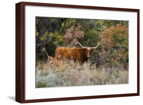 Texas Longhorn Cattle in Grassland-Larry Ditto-Framed Art Print