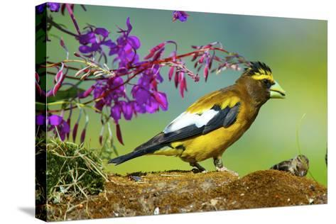 Evening Grosbeak Foraging on the Ground-Richard Wright-Stretched Canvas Print