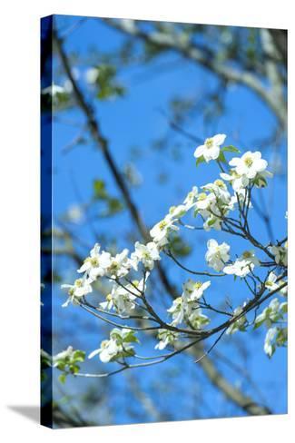 Georgia, Savannah, Flowering Dogwood-Lisa S^ Engelbrecht-Stretched Canvas Print