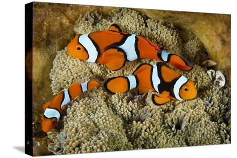 Clownfish Rest Inside their Host Anemone with Porcelain Crab-David Doubilet-Stretched Canvas Print