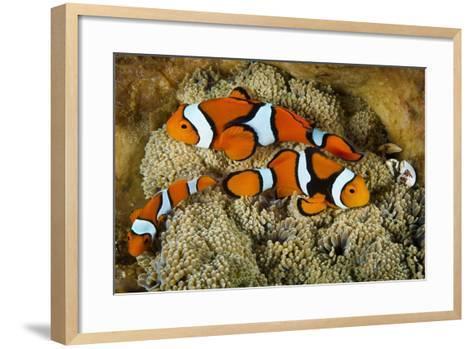 Clownfish Rest Inside their Host Anemone with Porcelain Crab-David Doubilet-Framed Art Print
