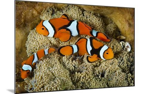 Clownfish Rest Inside their Host Anemone with Porcelain Crab-David Doubilet-Mounted Photographic Print
