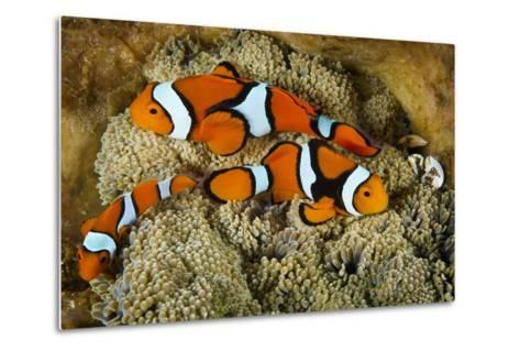 Clownfish Rest Inside their Host Anemone with Porcelain Crab-David Doubilet-Metal Print