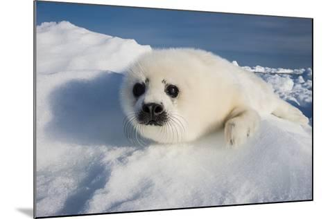 A Harp Seal Pup Rests on a Greatly Diminished Ice Pack in the Gulf of Saint Lawrence-David Doubilet-Mounted Photographic Print