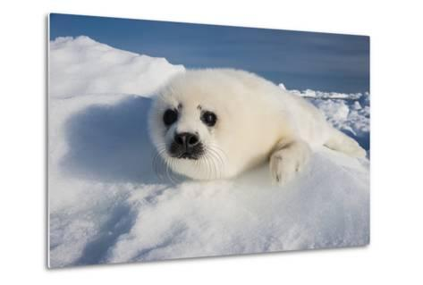 A Harp Seal Pup Rests on a Greatly Diminished Ice Pack in the Gulf of Saint Lawrence-David Doubilet-Metal Print