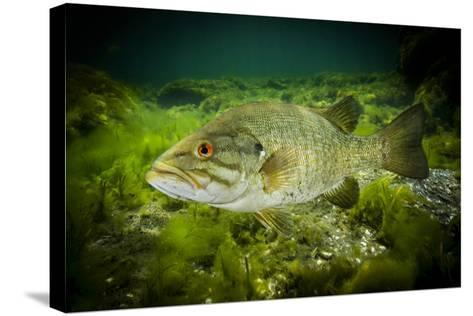A Smallmouth Bass Defends His Nest in the Saint Lawrence River-David Doubilet-Stretched Canvas Print