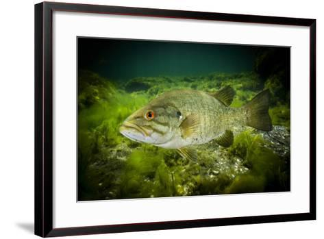 A Smallmouth Bass Defends His Nest in the Saint Lawrence River-David Doubilet-Framed Art Print