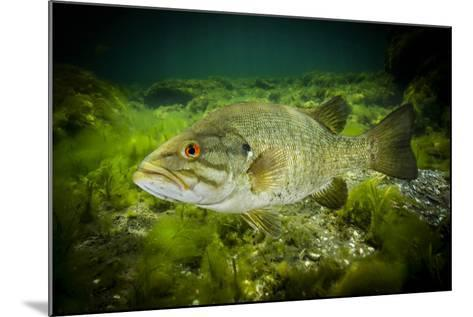 A Smallmouth Bass Defends His Nest in the Saint Lawrence River-David Doubilet-Mounted Photographic Print