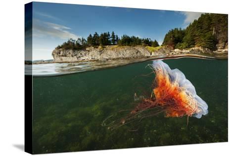 A Lion's Mane Jellyfish Drifts in Bonne Bay-David Doubilet-Stretched Canvas Print
