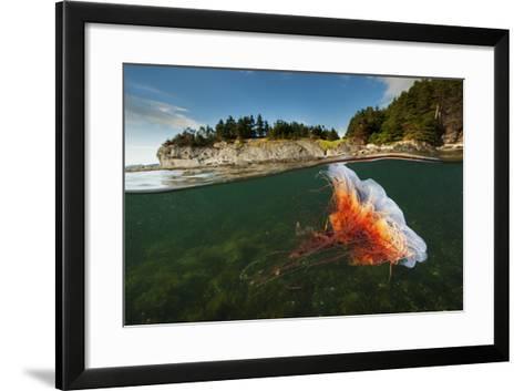 A Lion's Mane Jellyfish Drifts in Bonne Bay-David Doubilet-Framed Art Print