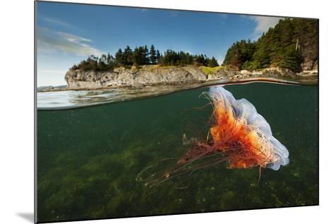 A Lion's Mane Jellyfish Drifts in Bonne Bay-David Doubilet-Mounted Photographic Print