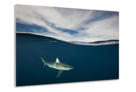 A Grey Reef Shark Swims in Kimbe Bay-David Doubilet-Metal Print