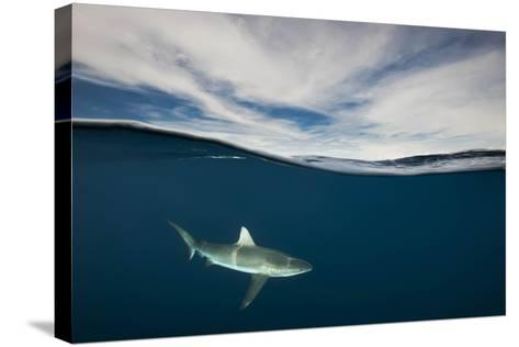 A Grey Reef Shark Swims in Kimbe Bay-David Doubilet-Stretched Canvas Print