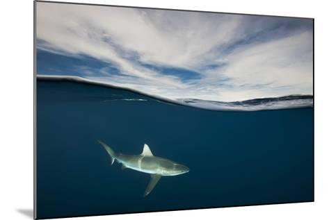 A Grey Reef Shark Swims in Kimbe Bay-David Doubilet-Mounted Photographic Print