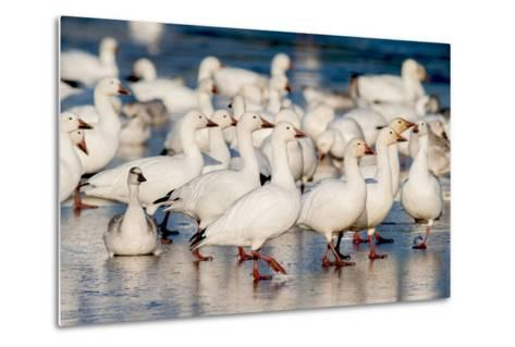Greater Snow Geese Rest on the Saint Francis River During Migration-David Doubilet-Metal Print
