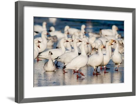 Greater Snow Geese Rest on the Saint Francis River During Migration-David Doubilet-Framed Art Print