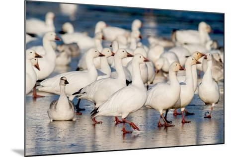Greater Snow Geese Rest on the Saint Francis River During Migration-David Doubilet-Mounted Photographic Print