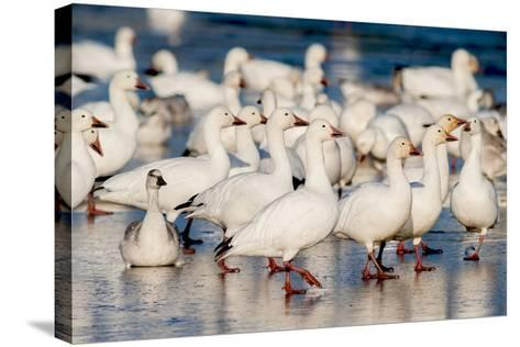Greater Snow Geese Rest on the Saint Francis River During Migration-David Doubilet-Stretched Canvas Print
