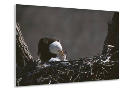 An American Bald Eagle Feeds its Chick-Roy Toft-Metal Print