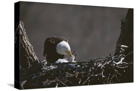 An American Bald Eagle Feeds its Chick-Roy Toft-Stretched Canvas Print