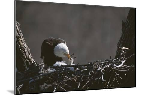 An American Bald Eagle Feeds its Chick-Roy Toft-Mounted Photographic Print