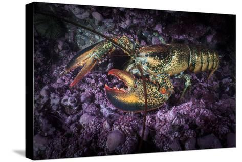 A Lobster Rests on the Seafloor Off Bonaventure Island in the Gulf of Saint Lawrence-David Doubilet-Stretched Canvas Print