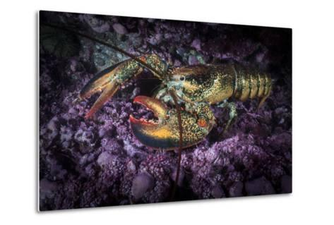 A Lobster Rests on the Seafloor Off Bonaventure Island in the Gulf of Saint Lawrence-David Doubilet-Metal Print