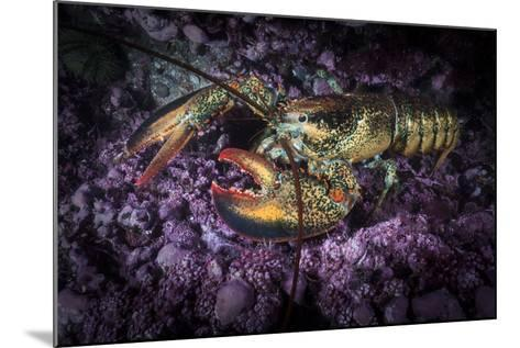 A Lobster Rests on the Seafloor Off Bonaventure Island in the Gulf of Saint Lawrence-David Doubilet-Mounted Photographic Print