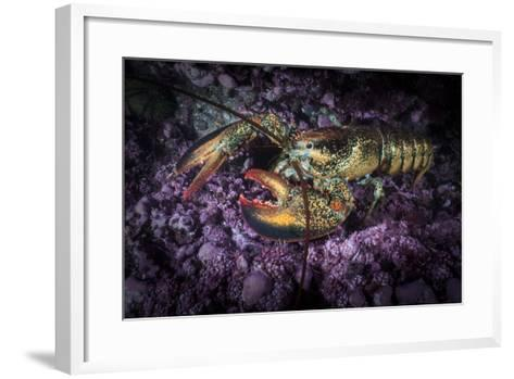 A Lobster Rests on the Seafloor Off Bonaventure Island in the Gulf of Saint Lawrence-David Doubilet-Framed Art Print